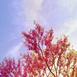 Pink tree in spring — Stock Photo