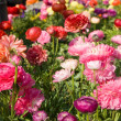 Flower-bed with poppies — Stock Photo