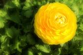 Yellow poppy — Stock Photo