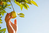 Man picking lemons — Stock Photo