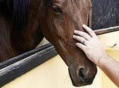 Hand på hästhuvud — Stockfoto