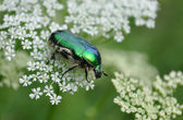 Cetonia aurata, known as the green rose chafer — Stock Photo