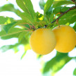 Stock Photo: Yellow plum