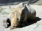 Rhiniceros — Stock Photo