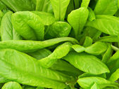 Green lettuce leafs — Stock Photo