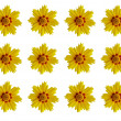 Coreopsis  flowers - Stock Photo