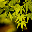 Foto Stock: Green maple leaves