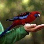 Lorikeet bird — Stock Photo