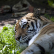 Amur tigers profile — Stock Photo