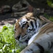 Stock Photo: Amur tigers profile