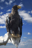Steller's sea eagle - Haliaeetus pelagicus — Stock Photo