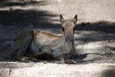 欧洲森林驯鹿 — 图库照片