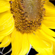 Sunflower macro — Stock Photo