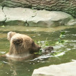 Bear swims in water and eating grass — Stockfoto #6400393