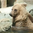 Brown bear sits in the water — Zdjęcie stockowe