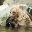 Brown bear sits in the water — 图库照片