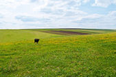 Black cow on green fields — Stock Photo