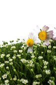 Chamomile on a green grass — Foto de Stock