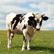 Stock Photo: Cow on pasture