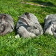 Stock Photo: Three big rabbits