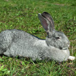 Big mammal rabbit — Stock Photo #5877638