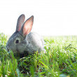 Stock Photo: Little mammal rabbit
