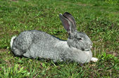 Big mammal rabbit — Stock Photo