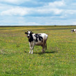 Cow on summer pasture — Stock Photo #5938372