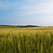 Green wheat field and sky — Stock Photo