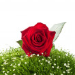 Red roses on green grass — Stock fotografie
