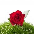 Rose rosse sull'erba verde — Foto Stock