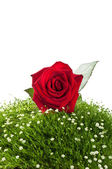 Red roses on green grass — Stock Photo