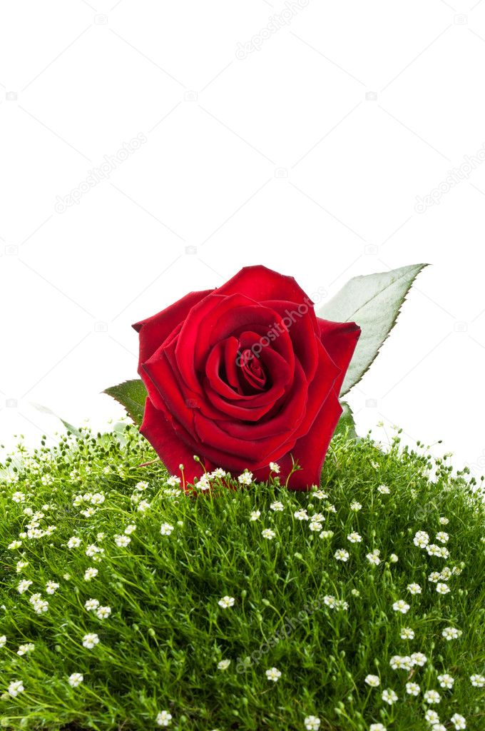 Red roses on green grass isolated on a white background — Stock Photo #6145708