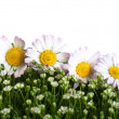 Chamomile on a green grass — Stock Photo