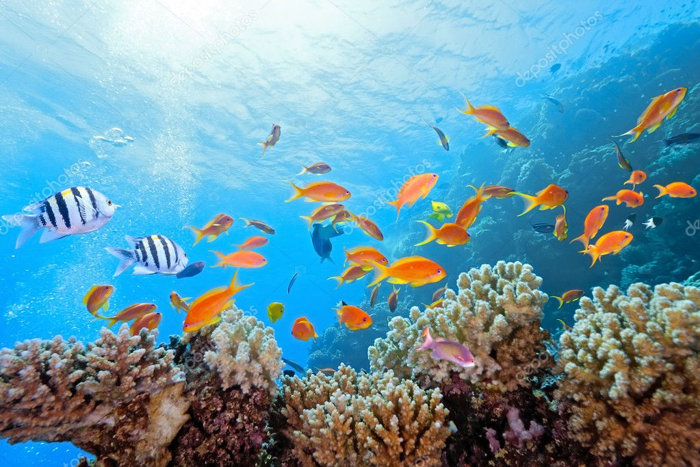 Shoal anthias fish on the coral reef — Stock Photo #5500592