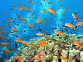 Shoal of anthias fish on the reef — Stock Photo