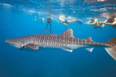 Whale shark and snorkeling — Stock Photo