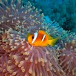 Anemone fish — Stock Photo