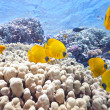 Shoal of butterfly fish — Stock Photo #5590276