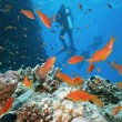 Diver on the coral reef - Stock Photo