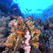 Shoal of anthias fish on the coral reef — Stock Photo #5590779
