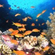 Shoal of anthias fish on the coral reef — Stock Photo #5590807