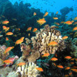 Shoal of anthias fish on the coral reef — Stock Photo #5590873