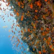 shoal of anthias fish on the coral reef — Stock Photo