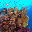Stock Photo: Shoal of anthias fish on the coral reef
