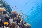 Scalefin anthias vis op het rif — Stockfoto