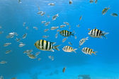 Shoal of sergeant fish — Stock Photo
