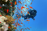 Diver on the coral reef — Stock Photo