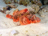 Scorpionfish on the reef — Stock Photo