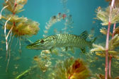 Pike in the lake — Stock Photo